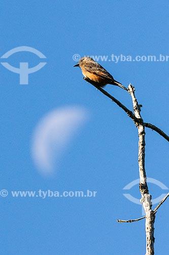 Pequena ave marrom na Área de Proteção Ambiental da Serrinha do Alambari  - Resende - Rio de Janeiro (RJ) - Brasil