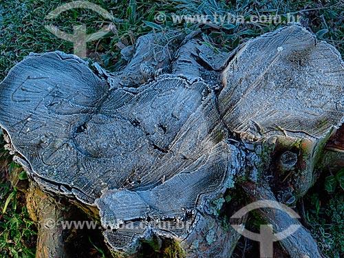 Gelo em tronco de árvore após geada  - Canela - Rio Grande do Sul (RS) - Brasil