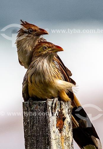 Anu-branco (Guira guira)  - Rio de Janeiro - Rio de Janeiro (RJ) - Brasil