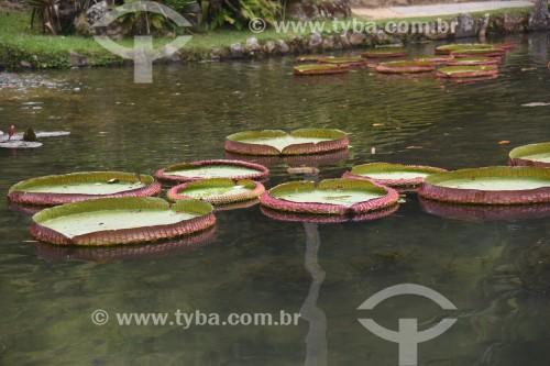 Detalhe de vitórias-régia (Victoria amazonica) no Lago Frei Leandro - Jardim Botânico do Rio de Janeiro - Rio de Janeiro - Rio de Janeiro (RJ) - Brasil