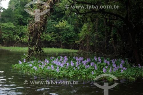 Planta aquática conhecida como Mureru (Eichhornia crassipes) - Iranduba - Amazonas (AM) - Brasil
