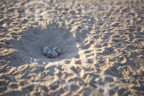 Ninho de Talha-mar (Rynchops niger) na praia em praia do Rio Parnaíba - Divisa do Piauí com o Maranhão - Miguel Alves - Piauí (PI) - Brasil