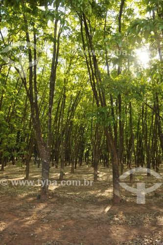 Plantação de Seringeiras (Hevea brasiliensis) - Neves Paulista - São Paulo (SP) - Brasil