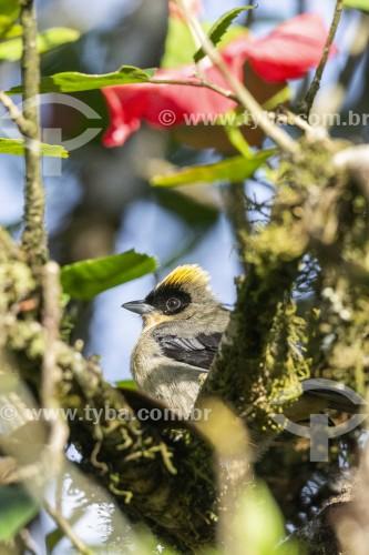 Detalhe de tiê-de-topete (Lanio melanops) na Área de Proteção Ambiental da Serrinha do Alambari - Resende - Rio de Janeiro (RJ) - Brasil