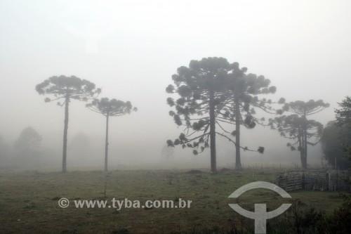 Árvores com névoa ao amenhecer - Canela - Rio Grande do Sul (RS) - Brasil