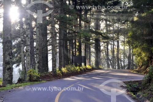 Estrada com pinheiros na Serra Gaúcha - Gramado - Rio Grande do Sul (RS) - Brasil