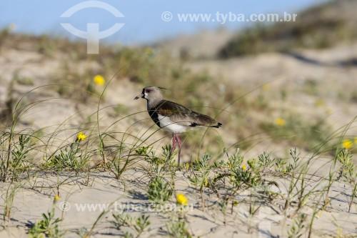 Quero-quero (Vanellus chilensis) - também conhecido como tetéu, teu-teu, ero-ero, terem-terém e espanta-boiada - Praia de Atlântida - Xangri-lá - Rio Grande do Sul (RS) - Brasil