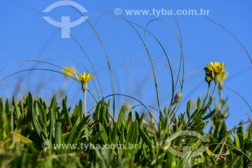 Flores no início da Primavera na Praia de Atlântida - Xangri-lá - Rio Grande do Sul (RS) - Brasil