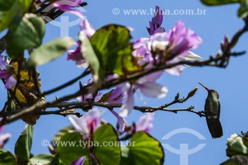 Beija-flor busca nectar em flor - Xangri-lá - Rio Grande do Sul (RS) - Brasil