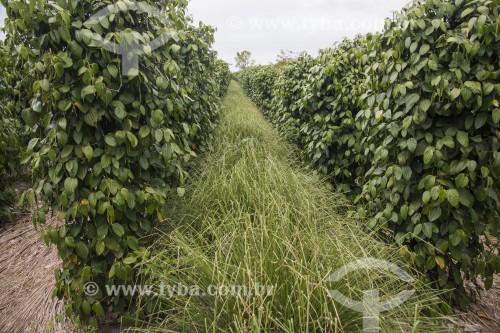 Capim Vetiver entre linhas de plantação de pimenta - usado como cobertura do solo para evitar insolação e evaporação da umidade - Linhares - Espírito Santo (ES) - Brasil
