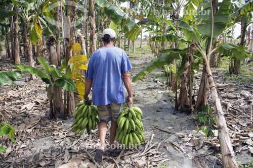 Pequeno produtor colhendo bananas no Assentamento Sezínio Fernandes de Jesus - Linhares - Espírito Santo (ES) - Brasil