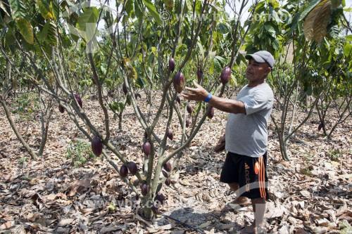 Pequeno produtor colhendo cacau no Assentamento Sezínio Fernandes de Jesus - Linhares - Espírito Santo (ES) - Brasil