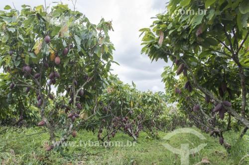 Plantação de cacau no sistema cabruca - são áreas de cultivo onde o cacau foi implantado sob a sombra da floresta nativa raleada - Linhares - Espírito Santo (ES) - Brasil