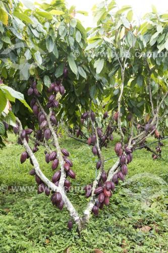 Plantação de cacau no sistema semi cabruca - Linhares - Espírito Santo (ES) - Brasil