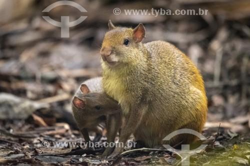 Cutia amamentando filhote (Dasyprocta leporina) no Parque Lage - Rio de Janeiro - Rio de Janeiro (RJ) - Brasil