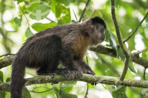 Detalhe de macaco-prego (Sapajus nigritus) no Parque Lage - Rio de Janeiro - Rio de Janeiro (RJ) - Brasil