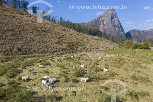 Foto feita com drone de gado nelore no pasto - Pancas - Espírito Santo (ES) - Brasil