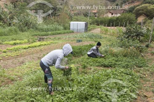 Trabalhadores rurais colhendo hortaliças em horta orgânica - Santa Maria de Jetibá - Espírito Santo (ES) - Brasil