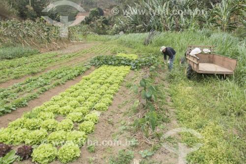 Trabalhador rural colhendo hortaliças em horta orgânica - Santa Maria de Jetibá - Espírito Santo (ES) - Brasil
