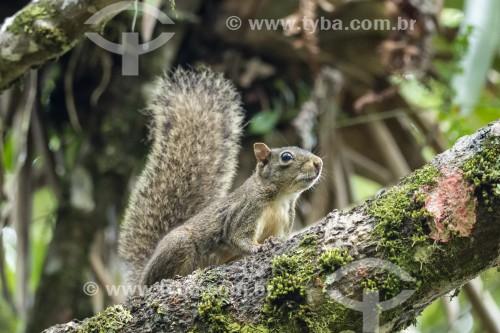 Detalhe de caxinguelê (Sciurus aestuans) na Área de Proteção Ambiental da Serrinha do Alambari - Resende - Rio de Janeiro (RJ) - Brasil