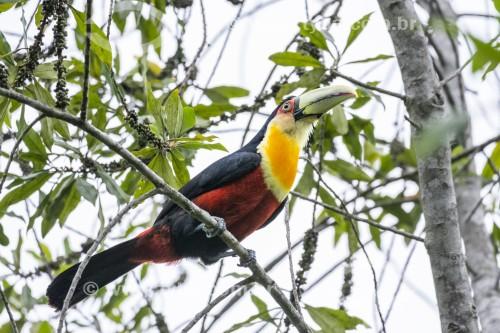 Detalhe de tucano-de-bico-verde (Ramphastos dicolorus) na Área de Proteção Ambiental da Serrinha do Alambari - Resende - Rio de Janeiro (RJ) - Brasil