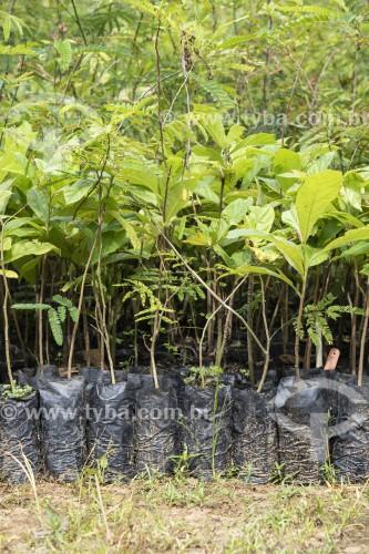 Mudas de árvores para projeto de reflorestamento -  Reserva Ecológica de Guapiaçu - Cachoeiras de Macacu - Rio de Janeiro (RJ) - Brasil