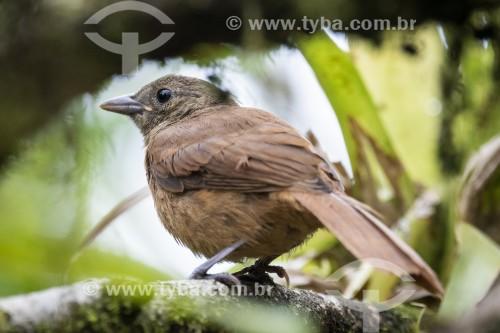 Detalhe de Tiê-preto (Tachyphonus coronatus) na Área de Proteção Ambiental da Serrinha do Alambari - Resende - Rio de Janeiro (RJ) - Brasil