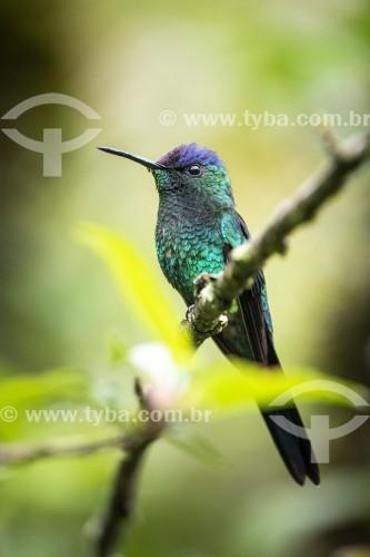 Beija-flor-de-fronte-violeta (Thalurania glaucopis) - Área de Proteção Ambiental da Serrinha do Alambari - Resende - Rio de Janeiro (RJ) - Brasil