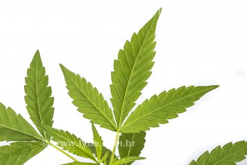Pequeno pé de maconha (Cannabis sativa) plantada em pequeno vaso - Rio de Janeiro - Rio de Janeiro (RJ) - Brasil
