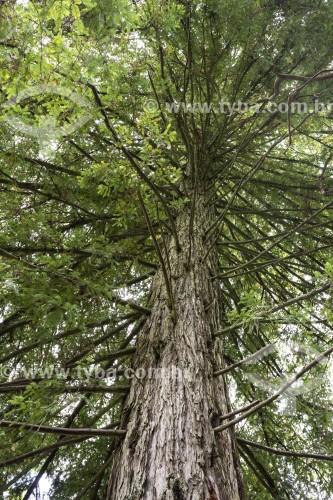 Árvore Sequóia no jardim da Quinta da Regaleira - Concelho de Sintra - Distrito de Lisboa - Portugal