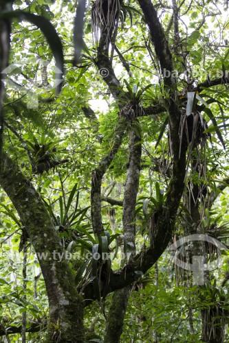 Interior de floresta com epífitas no alto da Serra da Mantiqueira - São José dos Campos - São Paulo (SP) - Brasil