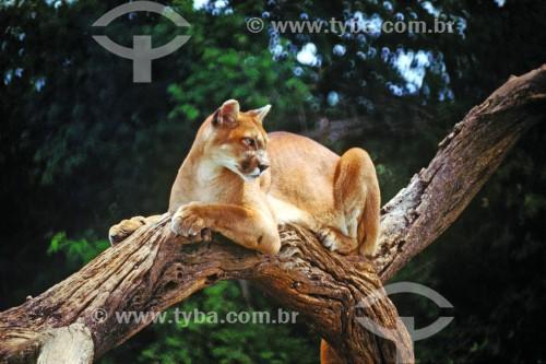 Onça-parda (Puma concolor) - também conhecida como Suçuarana - Serra dos Carajás - Parauapebas - Pará (PA) - Brasil