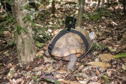 Tartaruga de pés amarelos com rastreador GPS e câmera Go Pro em projeto de biologia na Floresta da Tijuca  - Rio de Janeiro - Rio de Janeiro (RJ) - Brasil