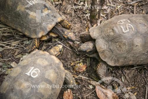 Tartarugas de pés amarelos em projeto de biologia na Floresta da Tijuca  - Rio de Janeiro - Rio de Janeiro (RJ) - Brasil