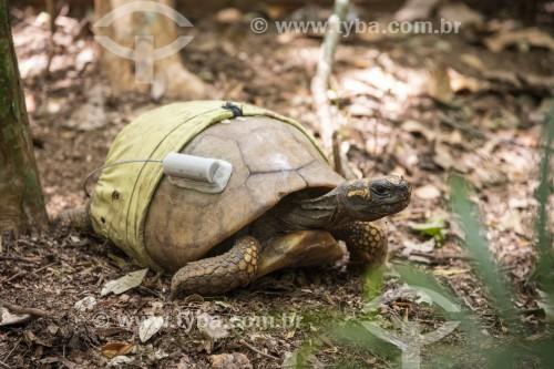 Tartaruga de pés amarelos com rastreador GPS e fralda em projeto de biologia na Floresta da Tijuca  - Rio de Janeiro - Rio de Janeiro (RJ) - Brasil