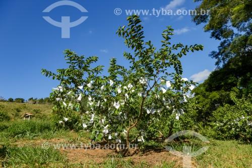 Plantio orgânico de goiaba em pequena propriedade rural - Guarani - Minas Gerais (MG) - Brasil