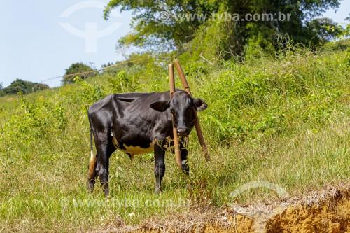 Bezerro com canga no pescoço em propriedade rural - Guarani - Minas Gerais (MG) - Brasil