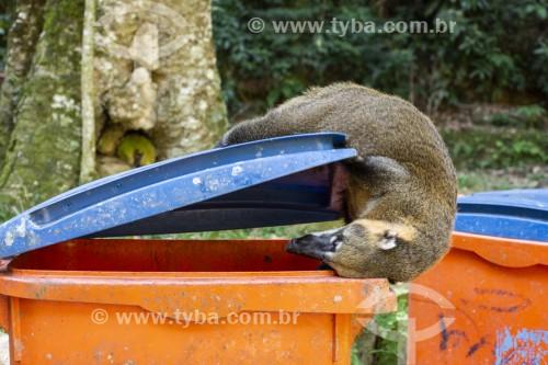 Quati (Nasua nasua) em cima de lata de lixo na Floresta da Tijuca - Rio de Janeiro - Rio de Janeiro (RJ) - Brasil