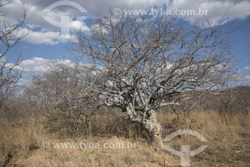 Umburana (Amburana cearensis) na caatinga do sertão de Pernambuco - Salgueiro - Pernambuco (PE) - Brasil