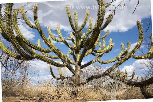 Cactus Xique-xique (Pilosocereus gounellei) na caatinga do sertão de Pernambuco - Cabrobó - Pernambuco (PE) - Brasil