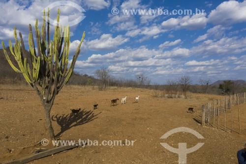 Paisagem do sertão pernambucano no período da seca com mandacaru e animais - Salgueiro - Pernambuco (PE) - Brasil