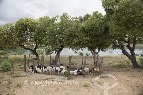 Criação de bodes e cabras na margem do Rio Pequeno - Ilha Assunção -  Terra Indígena Truká - Cabrobó - Pernambuco (PE) - Brasil
