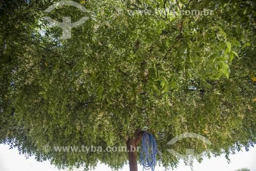 Árvore neem ou nim - originária da Índia - Cabrobó - Pernambuco (PE) - Brasil