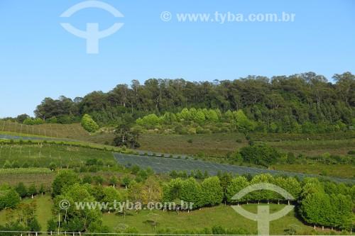Plantação de uva - Vale dos vinhedos - Bento Gonçalves - Rio Grande do Sul (RS) - Brasil