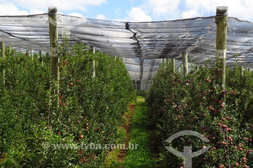 Plantação de maçãs - Bom Jesus - Rio Grande do Sul (RS) - Brasil
