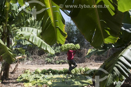 Colheita de bananas na Ilha Assunção - Terra indígena Truká - Cabrobó - Pernambuco (PE) - Brasil