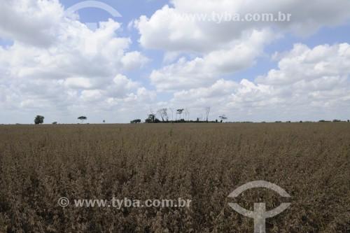 Plantação de Soja - Planalto - São Paulo (SP) - Brasil