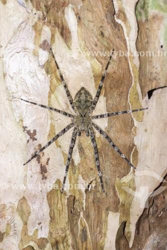 Aranha em tronco de árvore na Floresta da Tijuca - Rio de Janeiro - Rio de Janeiro (RJ) - Brasil