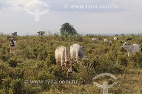 Gado nelore mestiço em pastagem para engorda - Frutal - Minas Gerais (MG) - Brasil