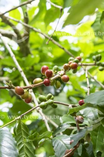 Detalhe de grãos de café ainda no cafezal - Parque Nacional da Tijuca - Rio de Janeiro - Rio de Janeiro (RJ) - Brasil
